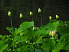 Lotus Budding (BlueRidgeKitties) Tags: canonpowershotsx40hs stlouis missouri missouribotanicalgarden nelumbonucifera sacredlotus