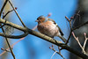 Chaffinch  -  Buckfink ♂︎ (CJH Natural) Tags: finch buckfink chaffinch nature wildlifephotography naturephotography light licht wild natur wildlife tree bluesky