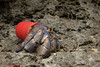 Hermit crab adapting with plastic by Shawn Miller (Okinawa Nature Photography) Tags: hermitcrabs crabsofjapan crustaceans impactsofmarinedebris waste recycle findyourinspiration letsmakeadifferencebyshawnmiller yahiknowshawnmiller crabswithbeachtrashhomes onnavillage okinawanaturephotography wildlifeofokinawa wildlifephotographersofokinawa canonoutdoors maketheswitch4nature okinawaconservationandwildlifephotographybyshawnmiller