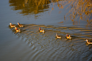 March of the mandarin duck