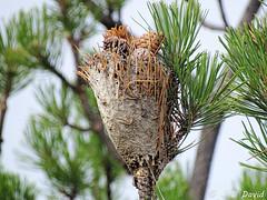 Ancien nid de chenilles processionnaires ! 3 (jean-daniel david) Tags: pin chenille cocon cône aiguille bokeh closeup nature