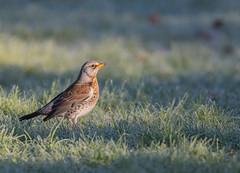 Fieldfare. Darley Dale, Derbyshire.  DSC_2533.jpg (graehammounteney) Tags: