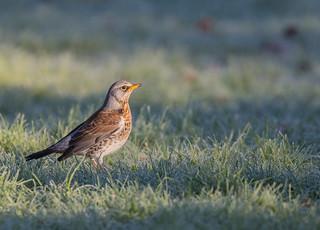 Fieldfare. Darley Dale, Derbyshire.  DSC_2533.jpg