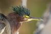 Punk (gseloff) Tags: greenheron bird nature wildlife animal bayou horsepenbayou pasadena texas kayak gseloff