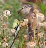American Goldfinches -- Mated Pair (Carduelis tristis);  Water Park, Kelowna, BC, Canada [Lou Feltz] (deserttoad) Tags: bird wildbird wildlife nature outdoors behavior songbird canada goldfinch park shrub seeds