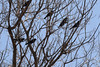 blackbirds in springtime (turn off your computer and go outside) Tags: 2015 april delvan turtlecreekwildlifearea wi wisconsin barebranches blackbird critter earlyspring nature outdoors uncertainidentification