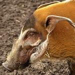 Red River Hog thumbnail