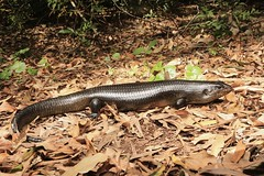 Land Mullet (Mitch Thorburn) Tags: land mullet springbrook national park bellatorias major