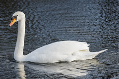White Swan on the lake (2) : with a nice winter light and a lot of wind (Franck Zumella) Tags: white swan cygne blanc bird oiseau big tall grand lake lac water eau swim nager nature animal wild sauvage feather plume winter light hiver lumiere sony a7s
