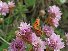Small Copper butterfly on Thrift (Philip_Goddard) Tags: nature naturalhistory animals invertebrates insecta insects lepidoptera butterflies lycaenidae lycaena lycaenaphlaeas smallcopper plants floweringplants angiosperms wildflowers plumbaginaceae armeria armeriamaritima seapink thrift europe unitedkingdom britain british britishisles greatbritain uk england southwestengland