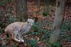 Lynx (Cloudtail the Snow Leopard) Tags: luchs lynx katze cat feline animal tier säugetier mammal beutegreifer predator pinselohr sprung springen jump jumping wildpark pforzheim