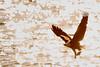 2018.01.27 Eagle outing in LeClaire, Iowa, 0369 (Mike Gatzke) Tags: leclaire iowa unitedstates usa bald eagle haliaeetus leucocephalus mississippi river ld14