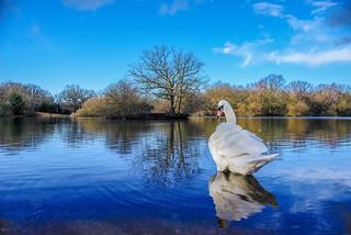 reflection of swan lake