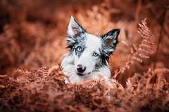 Elvea (Patounes et Moustaches) Tags: chien dog patounesetmoustaches paris forest foret elvea border collie bordercollie automne autumn pet animal cute girl blueeyes blue eyes light