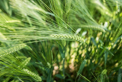just green nature (Mona Monday (CThomsen)) Tags: green nature outdoor gerste hordeum vulgare