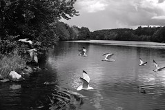 Flying (Bets<3 Fine Artist ~Picturing Light ~ Blessings ~~) Tags: maine seagulls birdsinflight water river reflecitions landscape trees waterscape androscogginriver clouds sky betsinme cloudscape perspective blackandwhite nature