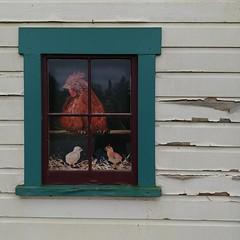 #carnation #christmastree #farm #barn #window #chicken #hen #chicks (Heath & the B.L.T. boys) Tags: instagram farm barn chicken chicks window