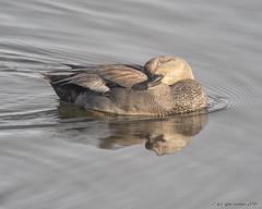 Gadwall (pandatub) Tags: bird birds duck gadwall mountainview shorelinepark