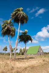 PALMAS BARRIGONAS ( Colpothrinax wrightii) EN PINAR DEL RÍO. (ceosgol) Tags: paysage cuba campagne palmiers grange ferme nature cielbleu tropical voyage arbres rural tabac champ endmique pinardelrio