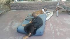 26230970_10214893021145985_7013604831698048630_n (natedetienne) Tags: ash tibetan mastiff puppy tm