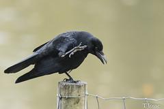 20171104_Vincennes_Corneille noire (thadeus72) Tags: aves birds carrioncrow corneillenoire corvidae corvidés corvuscorone oiseaux passériformes