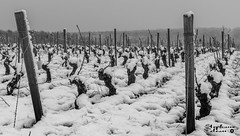 Région de Sancerre sous la neige (touflou) Tags: noiretblanc blackandwhite bw sancerre cher vigne neige froid