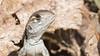 Butterfly lizard (m2onen) Tags: butterflylizard common leiolepisbelliana langkawi malaysia sony a6300 sal70400g laea3