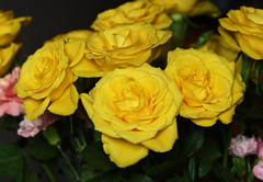 DSC_8848 Bouquet of Yellow Roses (PeaTJay) Tags: nikond750 sigma reading lowerearley berkshire macro micro closeups gardens indoors nature flora fauna plants flowers bouquet rose roses rosebuds