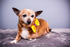 CRT-20180207_Sassy-4.JPG (Alfred Kirst) Tags: akiii photography alfred kirst iii chihuahua rescue transport ak3photography akiiiphotography canon chi dog planopetphotographer planotx planotexas planoweddingphotographer texas cute cutepuppy cutie female foster fosterdog fosterpuppies plano puppies puppy zukepets alfredkirstiii chihuahuarescueandtransport
