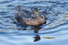 Wigeon - Juvenile Male (Frankyboy5) Tags: anasamericana mareca americana stanleypark lostlagoon duck