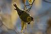 267.jpg (Kico Lopez) Tags: miño lugo spain rio birds spinusspinus aves galicia jilguerolúgano