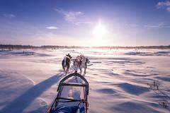 """''La compagnie du chien fou"""" (camel.arnaud) Tags: compagnie du chien fou traineau husky hiver sled winter dog dogs sunset couché soleil québec canada"""