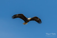 Bald Eagle flyby - 2 of 6