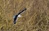 0T4A0514 (2) (Alinbidford) Tags: alancurtis alinbidford brandonmarsh greatblackbackedgull wildbirds