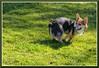 Corgi_8038 (bjarne.winkler) Tags: corgi tucker from sacramento pack is wondering if anyone notice what he doing