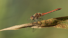 Common Darter Arrow (jrosvic) Tags: dragonfly
