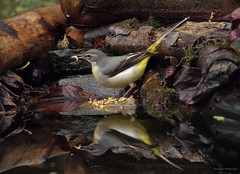 grey wagtail (Simon Dell Photography) Tags: grey wagtail pond reflection silhouette simon dell photography sheffield s12 hackenthorpe shirebrook valley 2018