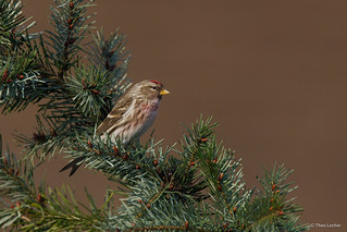 Common Redpoll - Grote Barmsijs - -5964