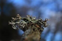 lichen (bulbocode909) Tags: valais suisse lichens champignons nature branches forêts vert bleu