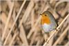 Pettirosso (fausto.deseri) Tags: erithacusrubecula robin pettirosso manzolinotivoli nature birds wildanimals nikond7100 nikkor300mmf28afsii nikontc17eii faustodeseri