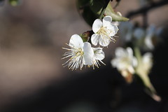 IMG_0923M Plum blossom, 梅の花, 梅花 (陳炯垣) Tags: flower blossom nature