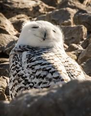 Ho Ho Ho . . . (Dr. Farnsworth) Tags: owl snowyowl bird female rocks wastewatertreatment sun wind down coats gloves hat muskegon mi michigan winter march2018