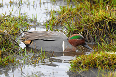 Green-winged Teal (Anas crecca) male (R-Gasman) Tags: bird greenwingedteal anascrecca male richmond britishcolumbia canada