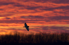 Short-eared owl hunting at sunset (Jim Cumming) Tags: driveby shortearedowl owl sunset sky nature bird canada wildlife silhouette trees hunting winter cold