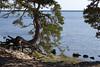 Kõver mänd (Jaan Keinaste) Tags: pentax k3 pentaxk3 eesti estonia loodus nature harjumaa laulasmaa meri sea mänd pine