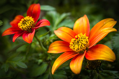 Flowers (holgerreinert) Tags: 2017 60mm blume blumen flower flowers gx80 lumix lumxiandme mzuiko60mm macro mai makro mzuiko oly olympus pana panasonic panasonicgx80 panasoniclumix lumixgx80