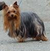Missie. (FloraandFauna_2) Tags: missie dog pet yorkie