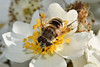 Bee Closeup 01 (Vincent Ferguson) Tags: natural nature floral flying aninal outdoor insect collecting garden foraging flora bee bug botanical blossom pollen flower permaculture white