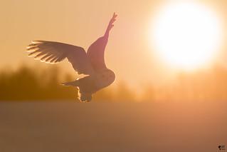 ''Soleil levant!'' harfang des neiges-Snowy owl