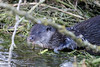 Otter (Karen Roe) Tags: santondownham village forestheath thetfordforest suffolk county england britain uk unitedkingdom greatbritain gb canoneos760d canon 760d 150600mm sigma contemporary zoom wildlife january 2018 peaceful quiet tranquil outside winter weather season camera photography photograph photographer picture image snap shot photo karenroe female flickr visit visitor river little ouse riverlittleouse water clear handheld hand held otter mammal wild